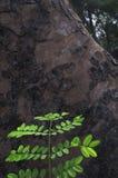 在老树负担的新的叶子 免版税库存照片