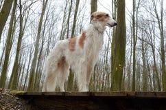 在老桥梁的老俄国猎狼犬 库存照片