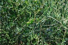 在老橄榄树的绿橄榄 图库摄影