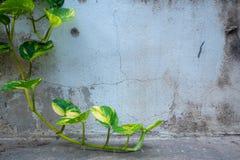在老水泥墙壁背景的新鲜的绿色常春藤 免版税库存照片