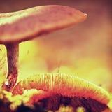 在老烂掉的树干掩藏的新鲜的棕色白色蘑菇 库存图片