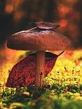在老烂掉的树干掩藏的新鲜的棕色白色蘑菇 免版税库存照片
