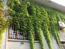 在老石墙上的绿色常春藤 库存照片