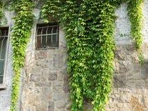 在老石墙上的绿色常春藤 免版税库存照片