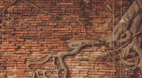 在老砖墙背景的树根 免版税图库摄影