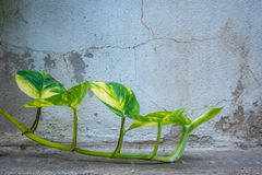 在老破裂的水泥墙壁背景的新鲜的绿色常春藤 库存图片