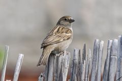 在老篱芭栖息的母麻雀 库存图片