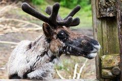 在老篱芭附近的蜕变的北美驯鹿 免版税库存照片