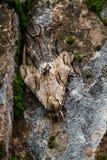 在老腐朽的墙壁上camoflouged的大飞蛾 免版税库存照片