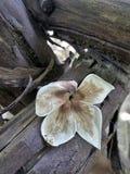 在老腐烂的木头的干落的花 免版税库存图片