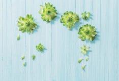 在老蓝色木背景的多汁植物 免版税库存照片