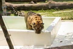 洗在老虎寺庙的浴,清迈 库存照片