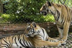 在老虎寺庙,清迈的两只老虎 图库摄影