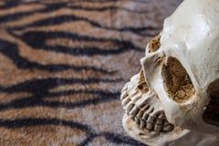 在老虎皮肤图象的头骨 图库摄影