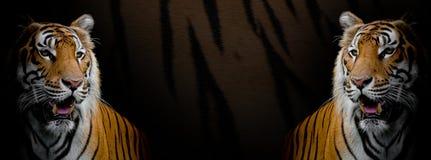 在老虎皮肤背景的双老虎 库存图片