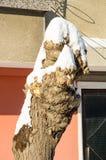 在老街道上的积雪的树在冬天波摩莱保加利亚 免版税库存照片