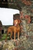 在老西班牙堡垒巴拿马的Vizsla狗 免版税图库摄影
