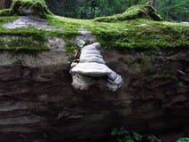 在老金合欢树干的白色蘑菇与青苔 免版税图库摄影