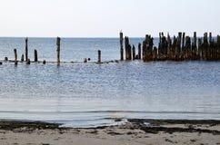 在老防堤岗位的黑带头的鸥 图库摄影