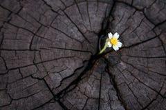 在老高明的树桩的Wildgrass成长 库存图片