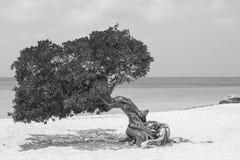 在老鹰海滩扭转的树,阿鲁巴 库存图片
