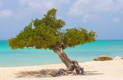 在老鹰海滩扭转的树,阿鲁巴 库存照片