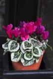 在老黑墙壁附近的紫色开花的仙客来 图库摄影