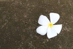 在老水泥地板上的白色羽毛或赤素馨花花绽放 免版税库存图片