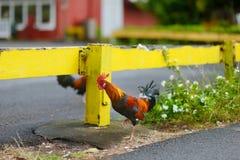 在考艾岛海岛上的美丽的野生雄鸡 免版税图库摄影