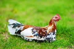在考艾岛海岛上的美丽的野生雄鸡 免版税库存照片