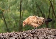 在考艾岛浸泡的野生禽畜湿在雨风暴以后 库存图片