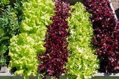 在耕种箱子的绿色食物在庭院里 免版税图库摄影