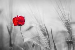 在耳朵的一个黑白后面领域的猩红色花 库存照片
