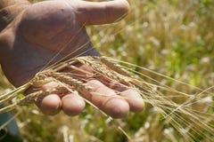 在耳朵领域阳光麦子上添面包 免版税库存照片