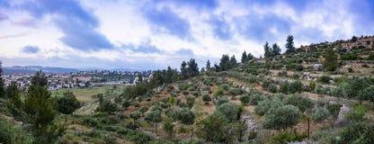在耶路撒冷附近的橄榄树小树林 免版税图库摄影