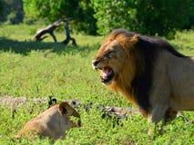 狮子inChobe国家公园, 免版税图库摄影