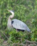在联接的全身羽毛的公伟大蓝色的苍鹭的巢 免版税库存照片