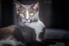 在聚光灯的傲慢的猫 免版税库存图片