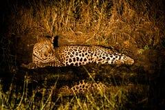 在聚光灯的豹子 库存照片