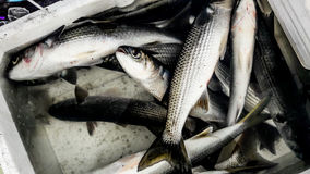在聚苯乙烯泡沫塑料箱子的灰鲻鱼鱼Kefal 免版税库存照片