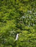 在肢体栖息的伟大白鹭Ardea晨曲 免版税图库摄影