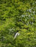 在肢体栖息的伟大白鹭Ardea晨曲 免版税库存照片