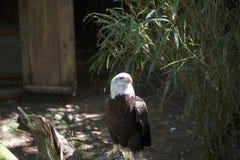 在肢体栖息的白头鹰 库存图片