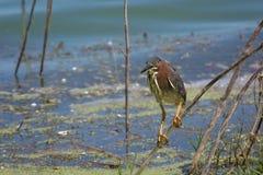 在肢体栖息的绿色苍鹭 库存图片