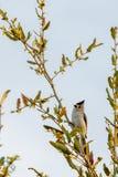 在肢体的北美山雀鸟 库存图片