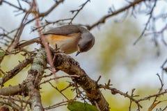 在肢体的北美山雀鸟 免版税库存图片