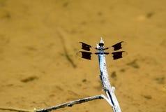 在肢体的白被盯梢的漏杓蜻蜓栖息处 图库摄影