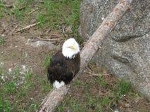 在肢体的白头鹰 免版税库存图片