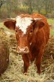 在肥料的母牛 免版税库存照片