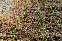 在肥沃土壤种植的庄稼增长在东部太阳下 种植在黑土的五谷新芽 库存照片